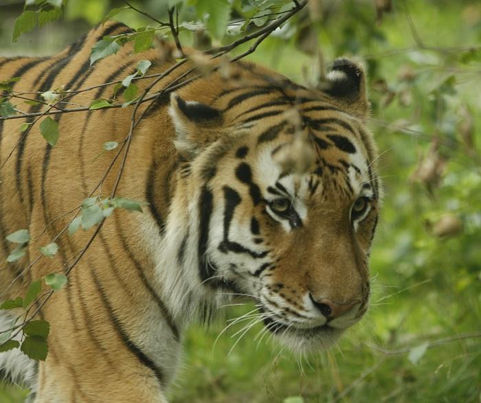tiger-corona